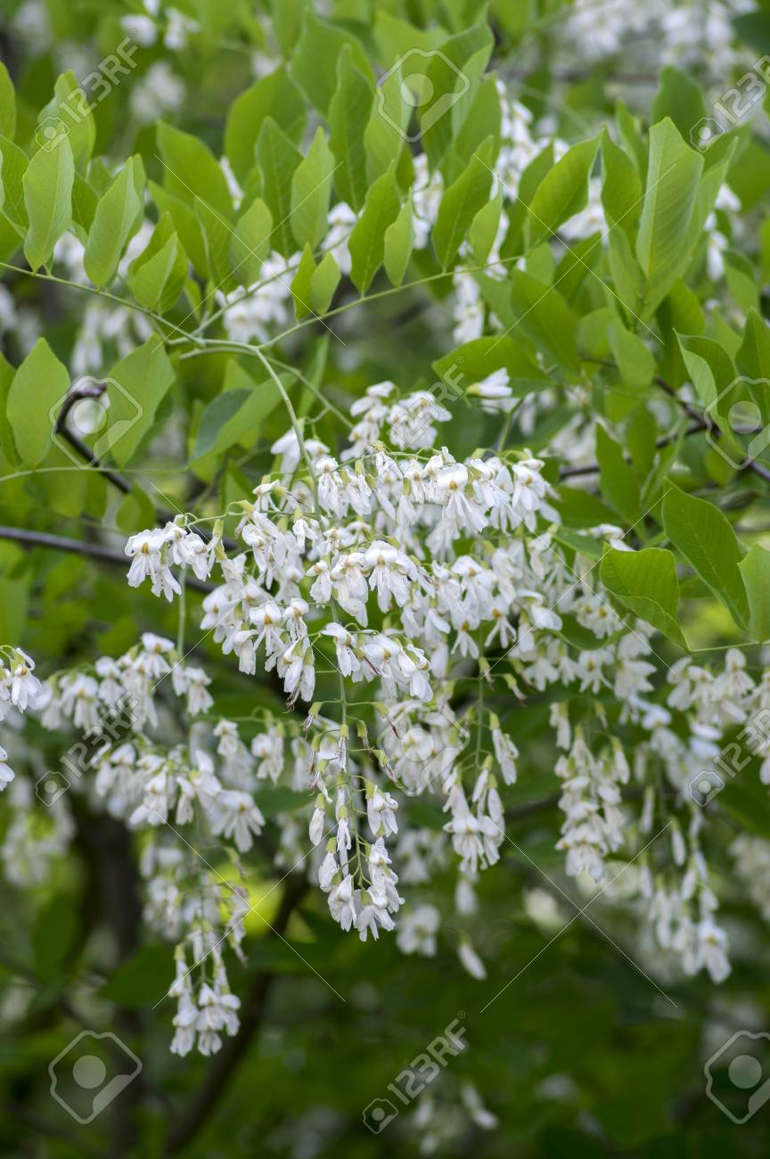 Cladrastis Kentukea Ornamental Flowers In Bloom White Flowering