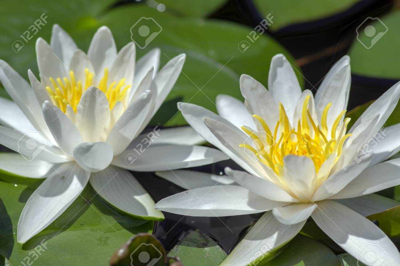 Nymphaea Hermine Flowering Pond Plant Beautiful Bright White
