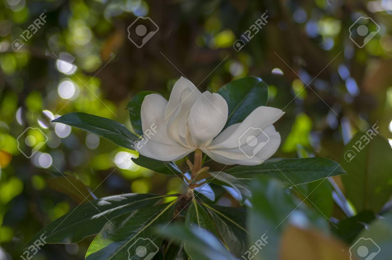Magnolia Grandiflora White Flowering Ornamental Beautiful Tree