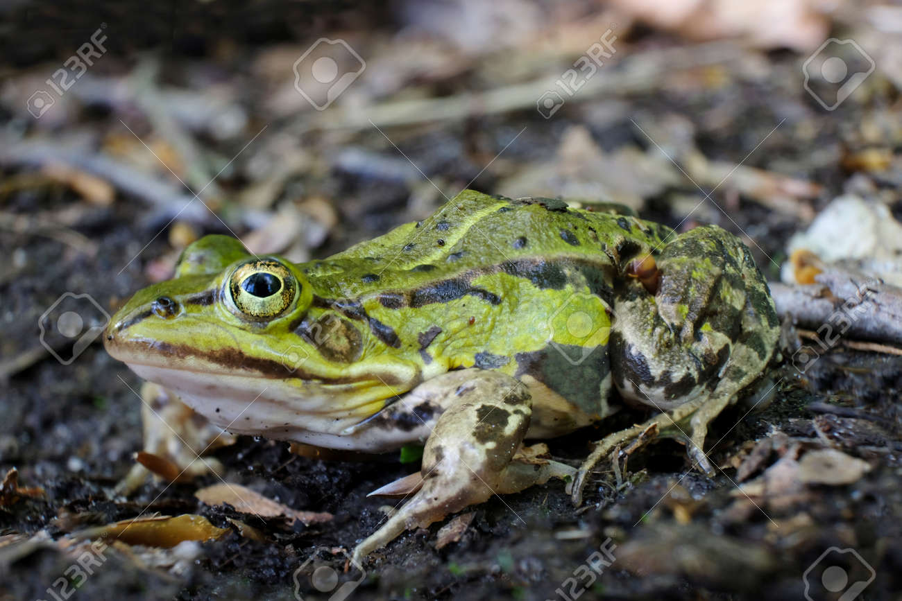 Green frog (Rana esculenta complex) in forest - 169056276