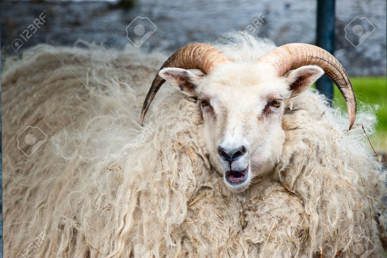 a big white ram sheep with long horns stock photo picture and royalty free image image 31624817 a big white ram sheep with long horns