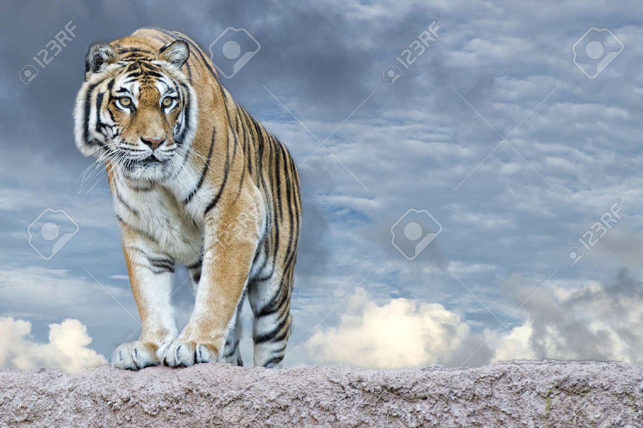 siberian tiger ready to attack looking at you in the rocks