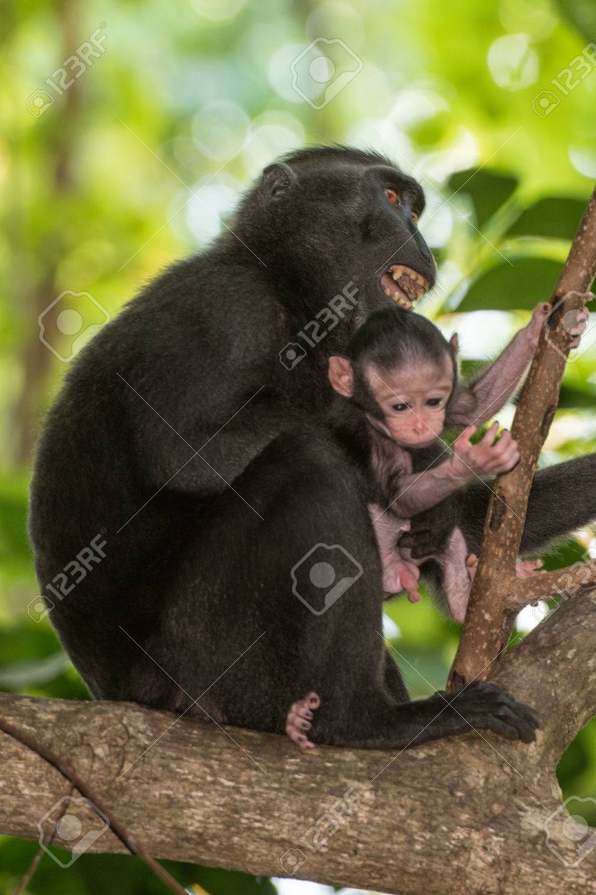celebes sulawesi endemic crested black macaque ape portrait stock