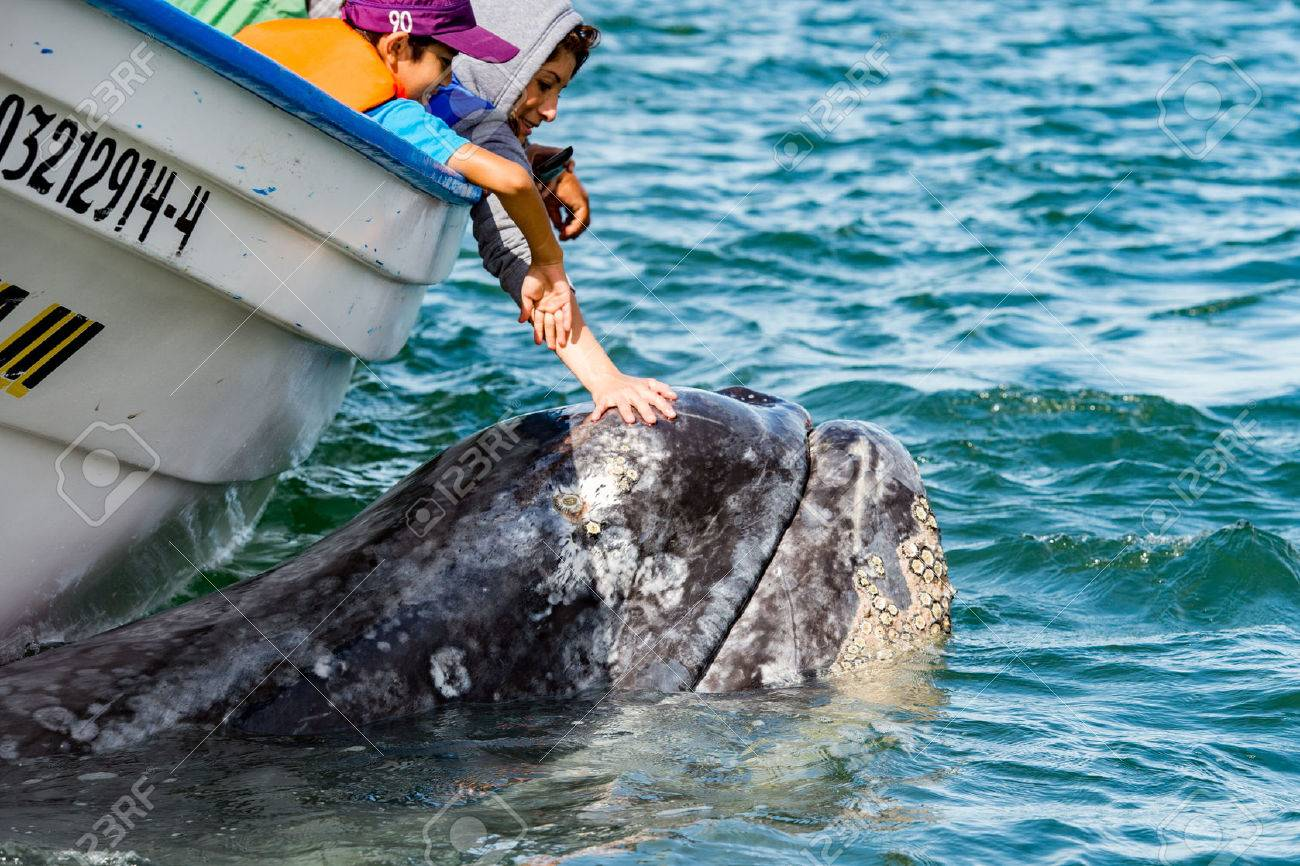 ALFREDO LOPEZ MATEOS - MEXICO - FEBRUARY, 5 2015 - hands while caressing and touching a grey whale mother and calf resting for milking Stock Photo - 55335618