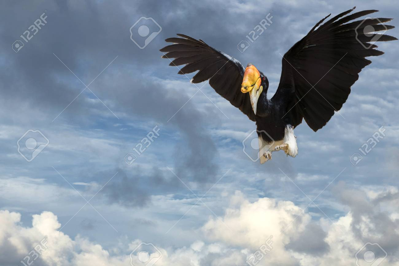 Rhinoceros Hornbill Bird While Flying To You Stock Photo Picture And Royalty Free Image Image 56400481