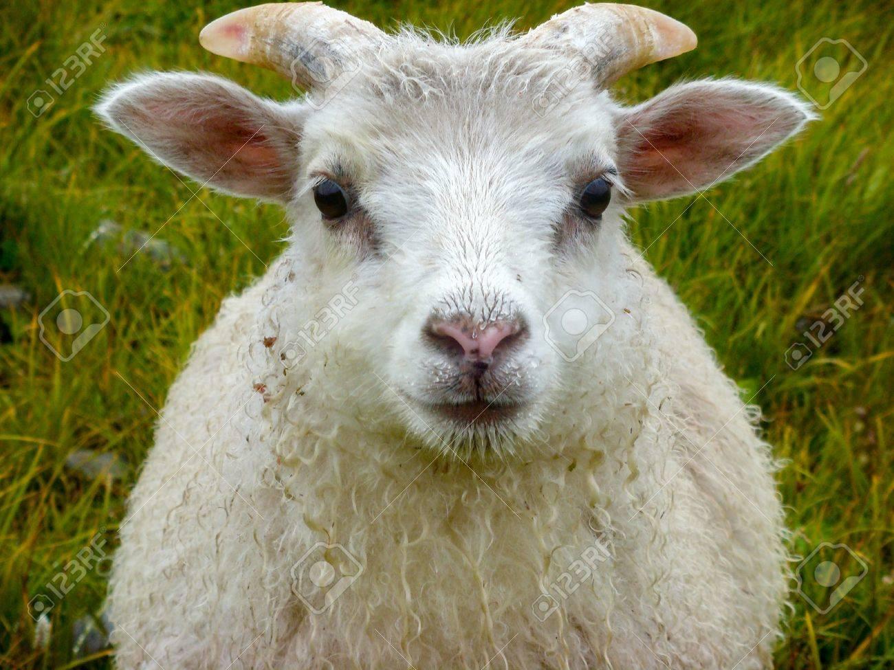 newborn baby white ram sheep under the rain and grass background stock photo picture and royalty free image image 87164708 newborn baby white ram sheep under the rain and grass background