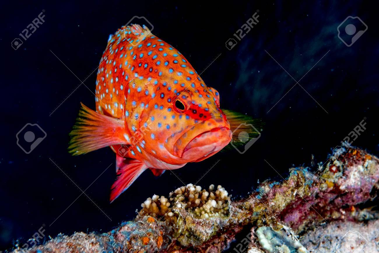 Colorful Grouper On The Reef Background Stock Photo, Picture And ...