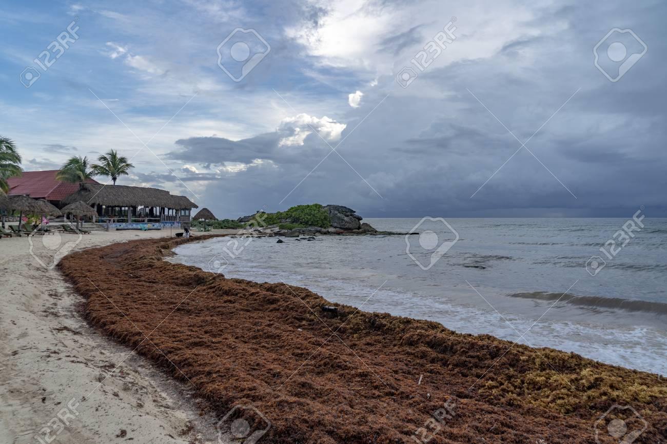 caribbean sandy beach covered by sargasso algae seaweed in Tulum
