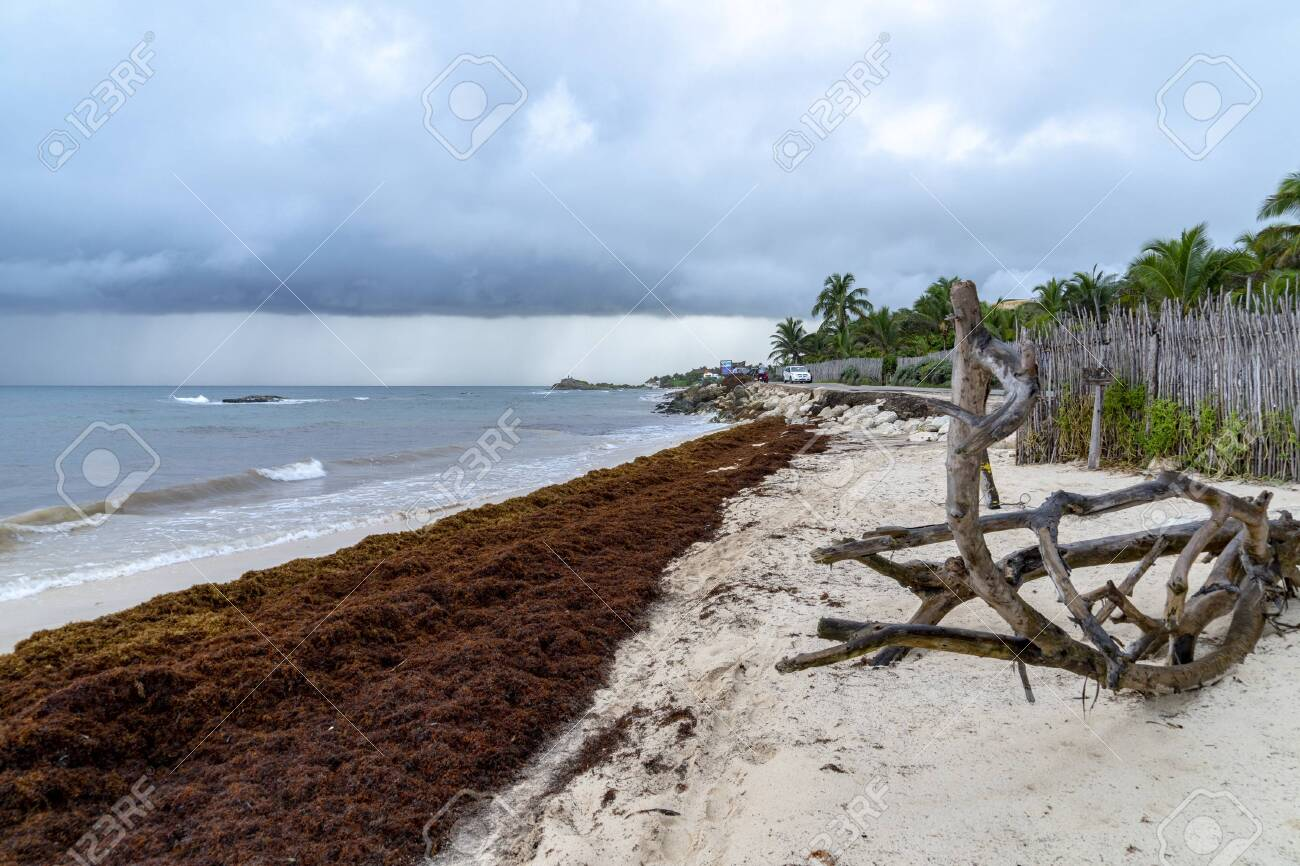 caribbean sandy beach covered by sargasso algae seaweed in Tulum