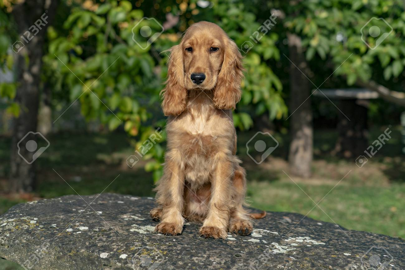 Adorable Baby Puppy Dog Cocker Spaniel Portrait Looking At You Stock Photo Picture And Royalty Free Image Image 114273768