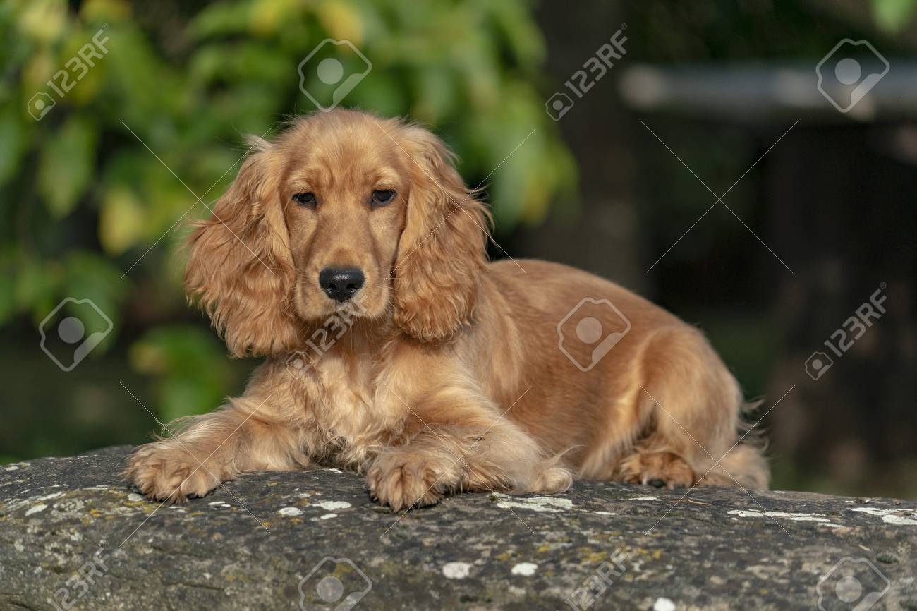 Adorable Baby Puppy Dog Cocker Spaniel Portrait Looking At You Stock Photo Picture And Royalty Free Image Image 114273771