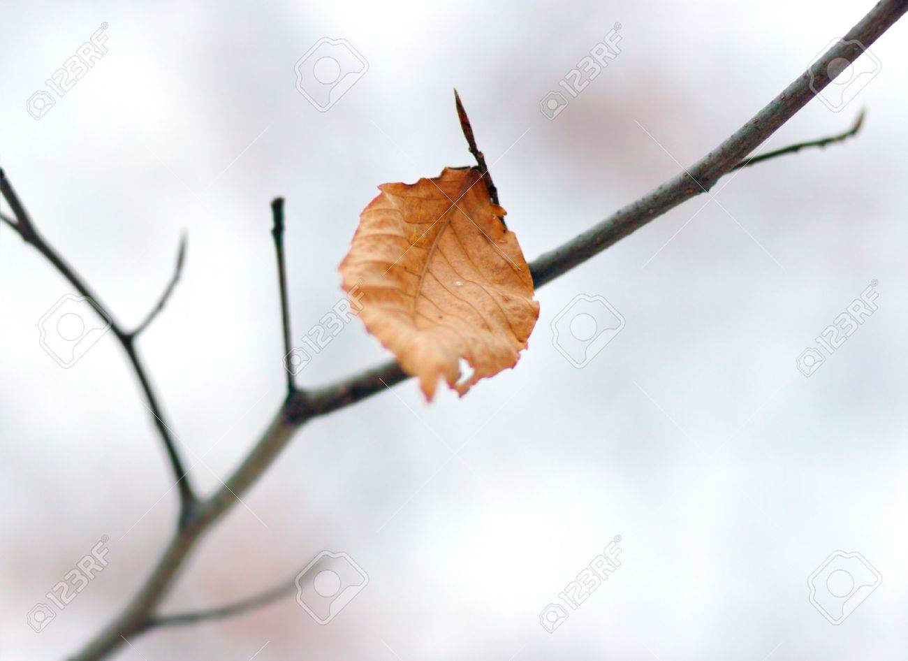 A lone leaf on the tree branch Stock Photo - 618018