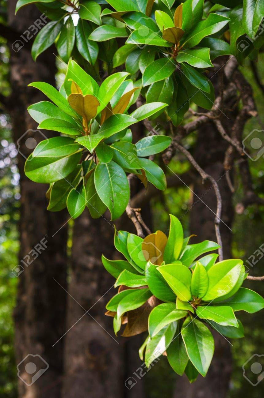 Magnolia Tree Fresh Green Leaves Stock Photo Picture And Royalty