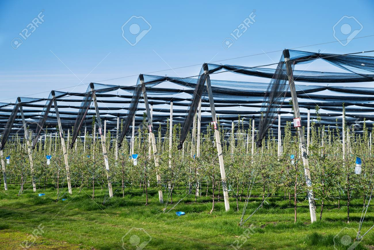 Blooming apple orchard in agricultural plantation, in summer