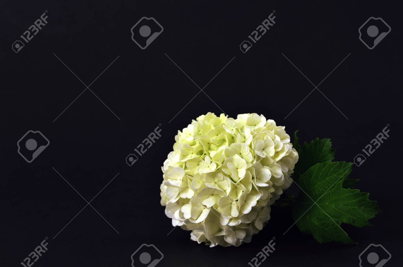 White Snowball Flower On Dark Background Stock Photo Picture And