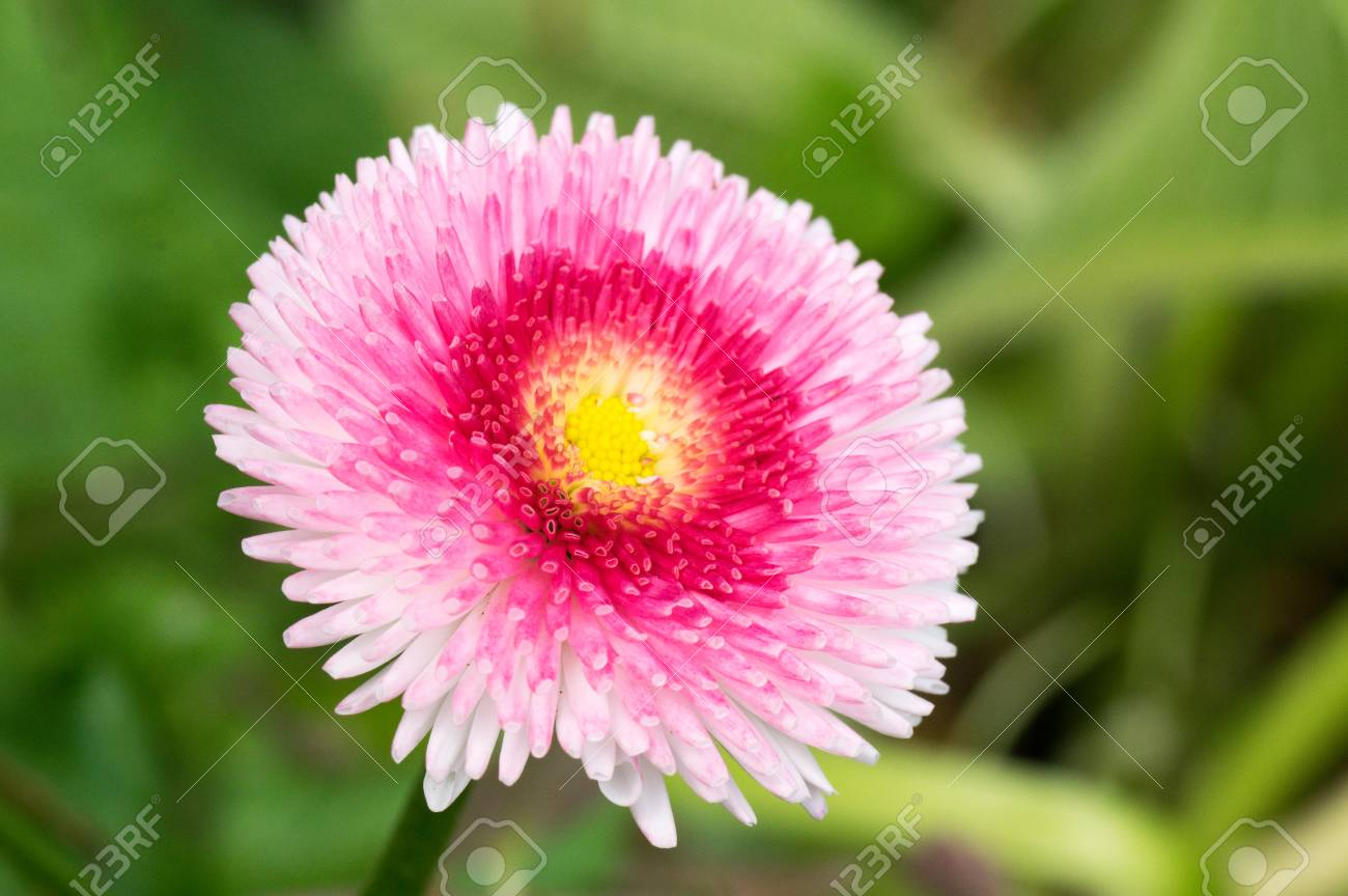 Pink English Daisy Pom Pom Flower Stock Photo Picture And Royalty