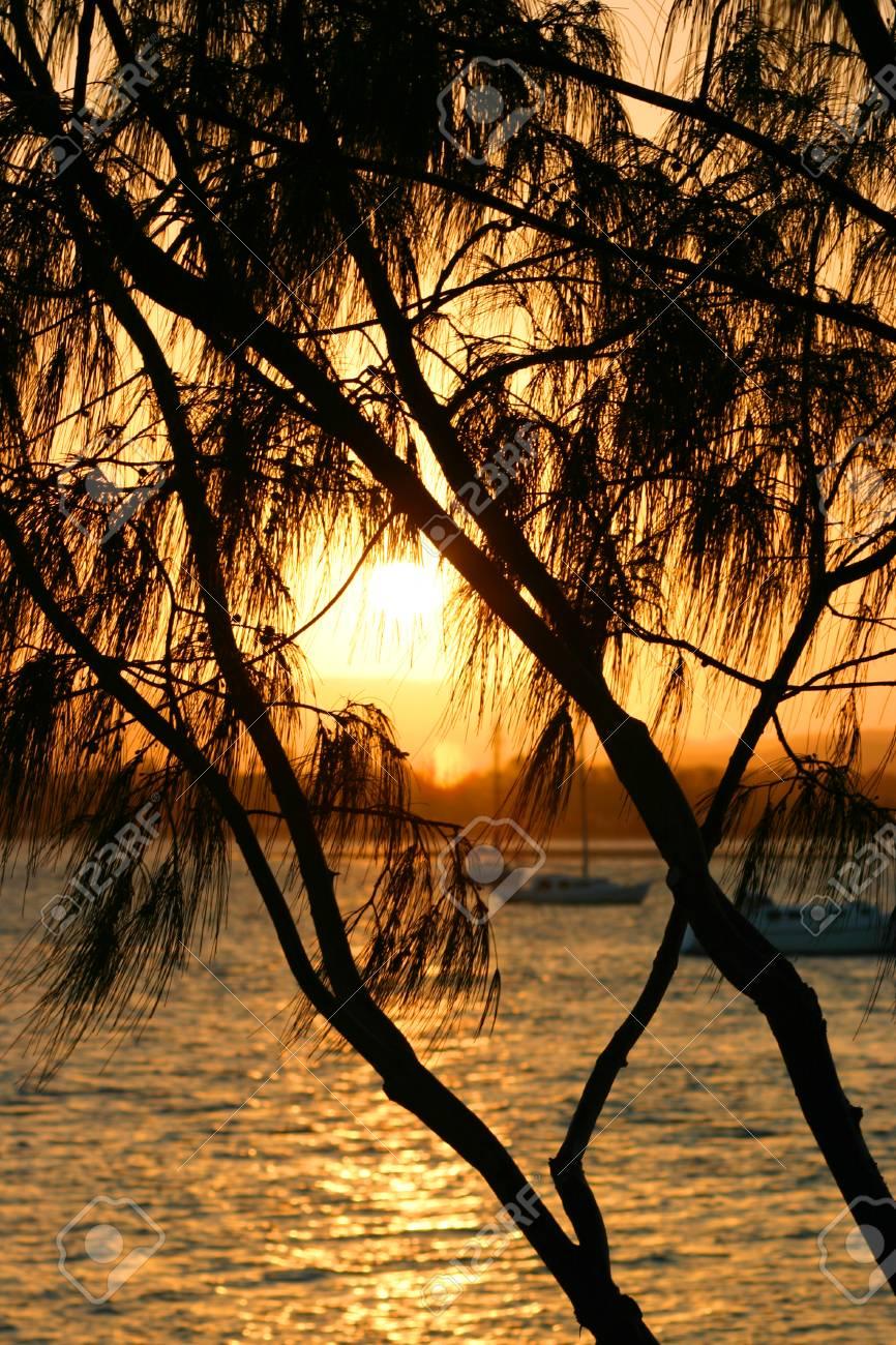 Tropical casuarina tree against the setting sun. Stock Photo - 1613175