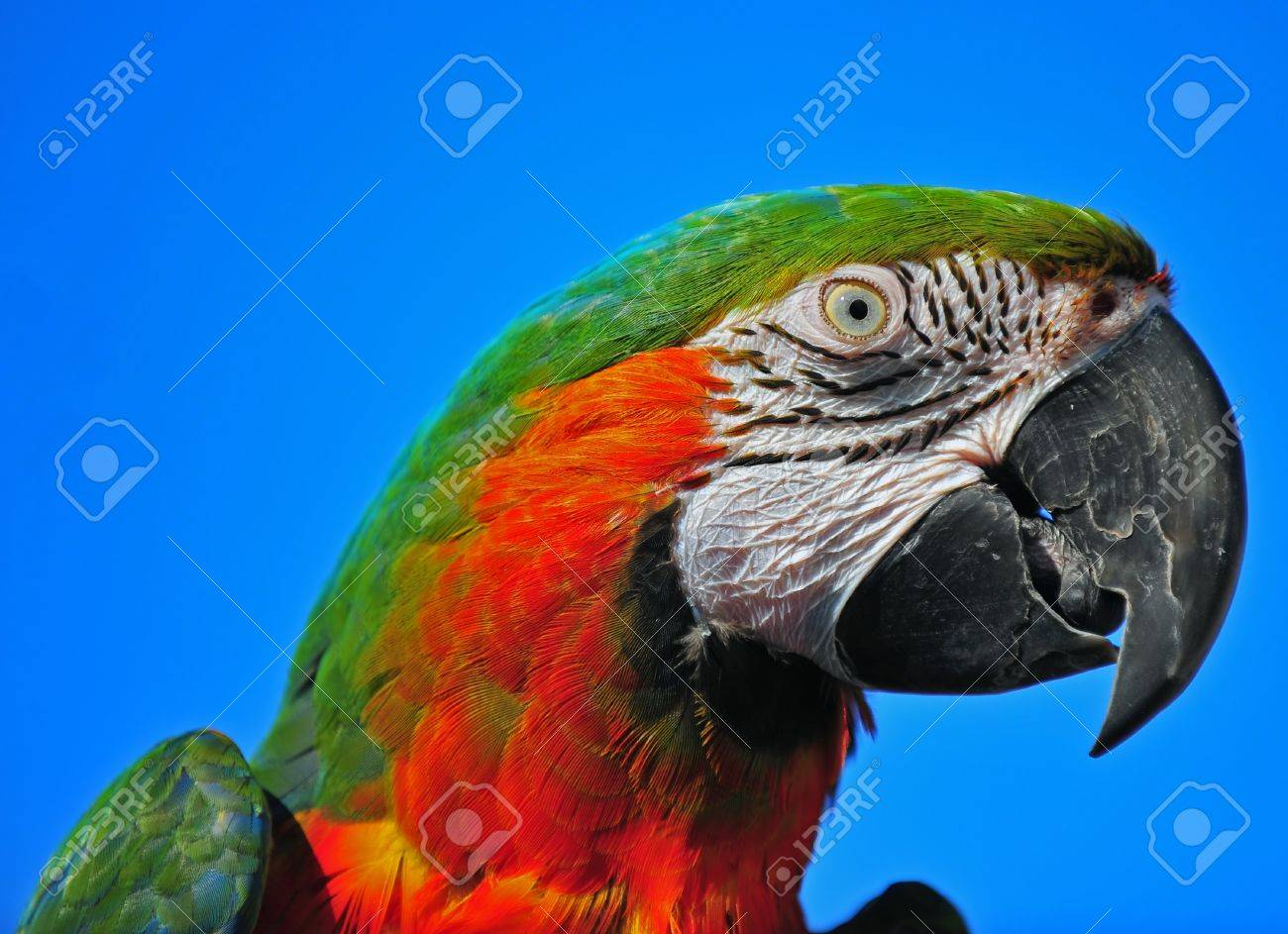 A close up head shot of a colorful Macaw with the detail of his head feathers and face lines and a clear blue sky behind him. Stock Photo - 11646751