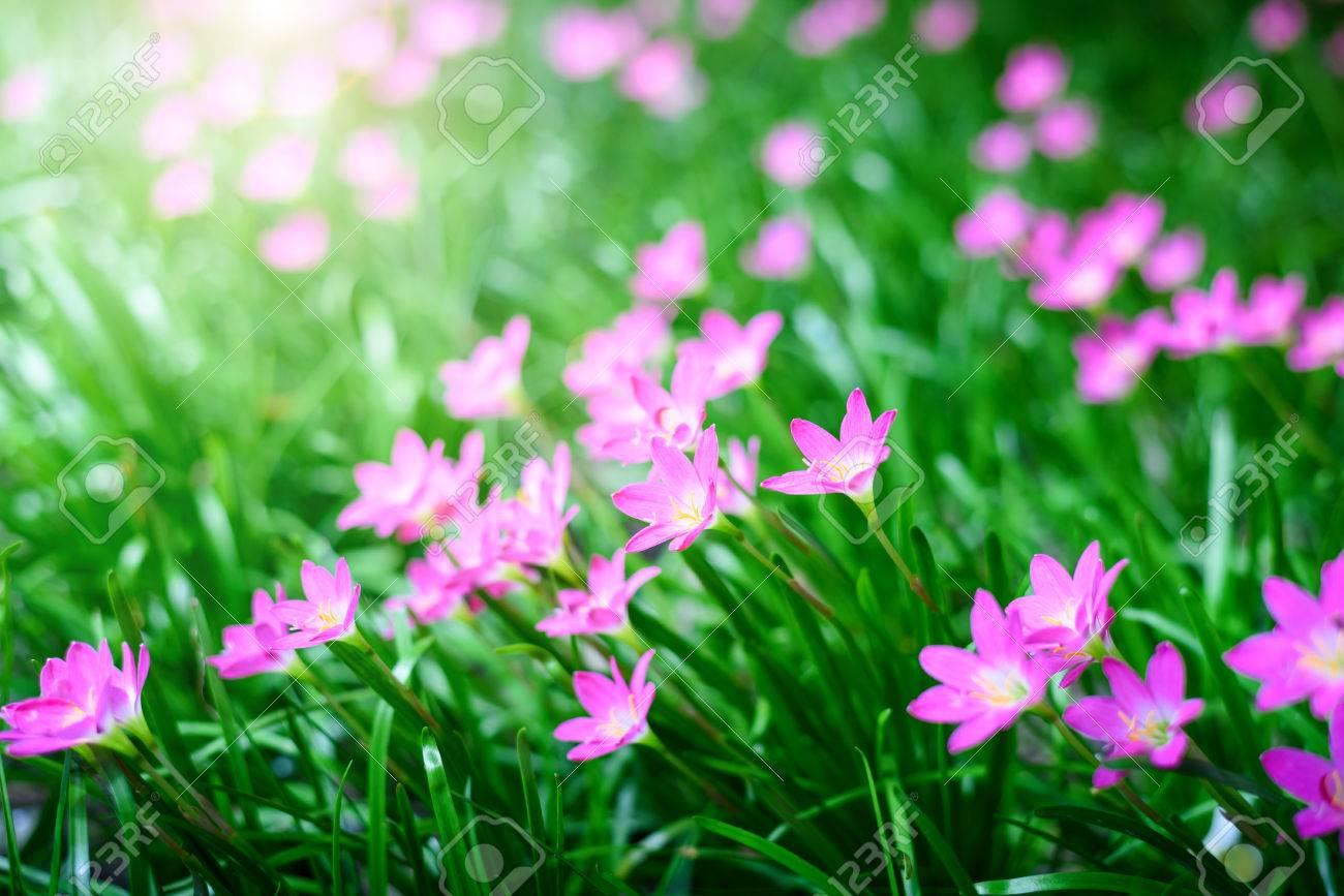Rain lily blooming in rainy season with soft light of sunset stock rain lily blooming in rainy season with soft light of sunset pink flower background stock izmirmasajfo