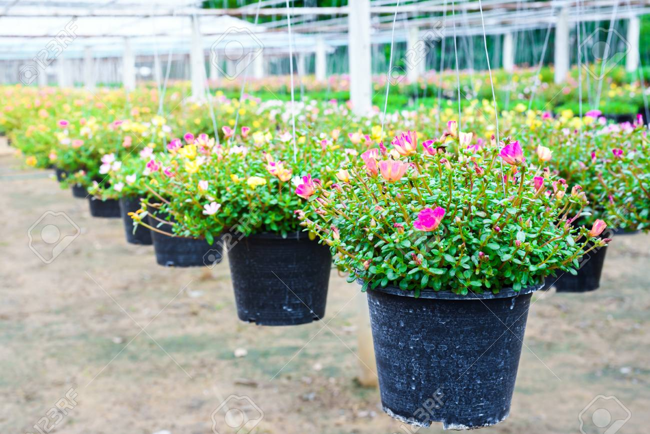 Hanging flower pots in a plant nursery green house flower farm background Stock Photo - & Hanging Flower Pots In A Plant Nursery Green House Flower Farm ...