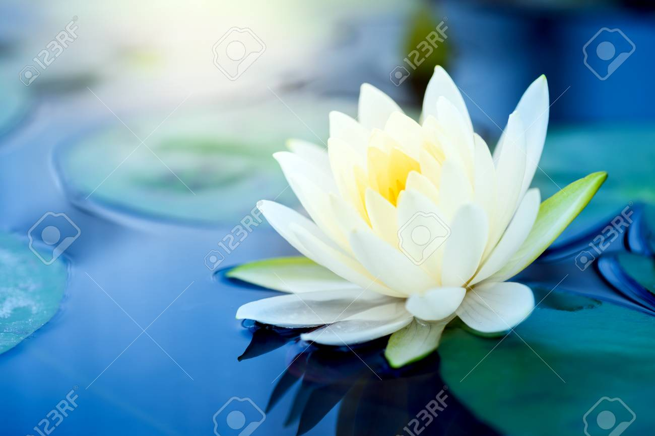 Beautiful White Lotus Flower With Green Leaf In In Blue Pond Stock
