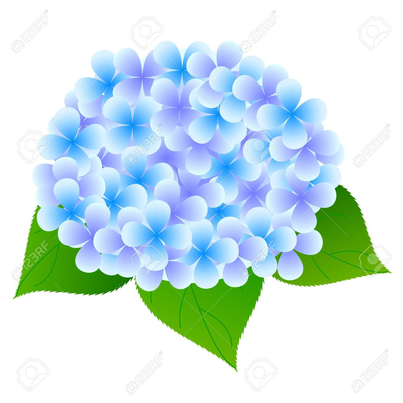 hydrangea flower leaves royalty free cliparts vectors and stock rh 123rf com hydrangea clipart simple hydrangea clipart borders