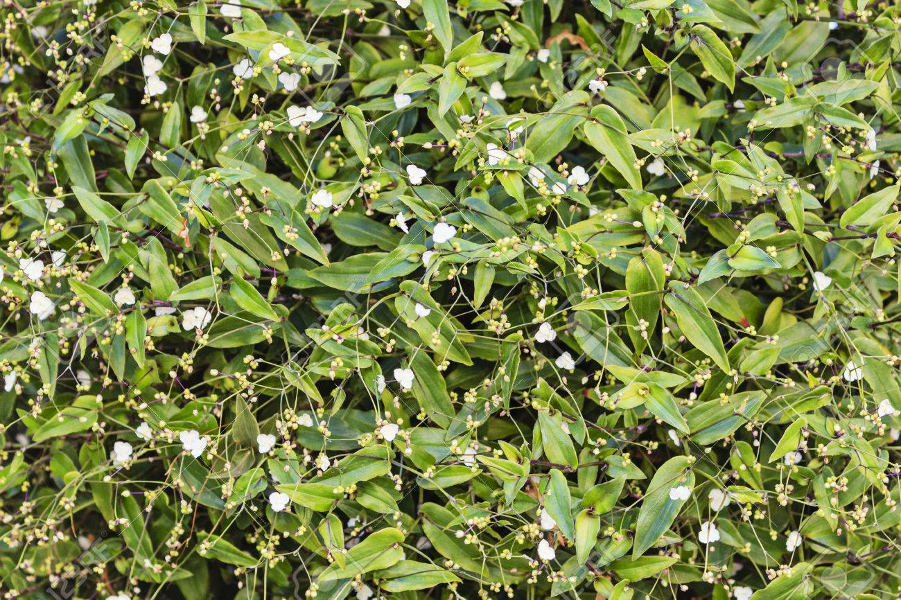 Background Climbing Plant With White Flowers Stock Photo Picture