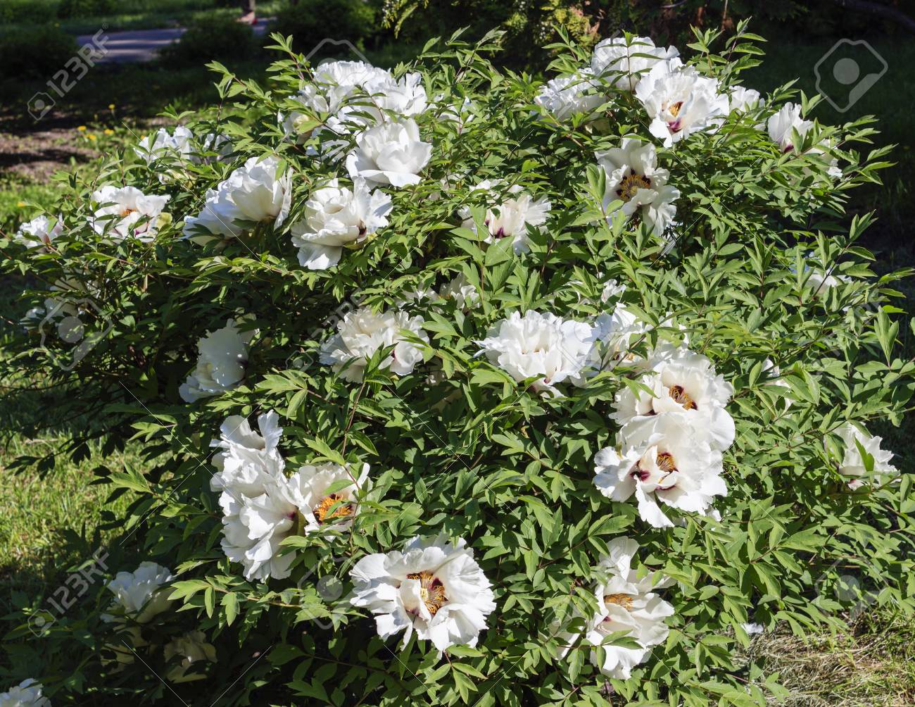 Bush Tree Peony With Large White Flowers Stock Photo Picture And