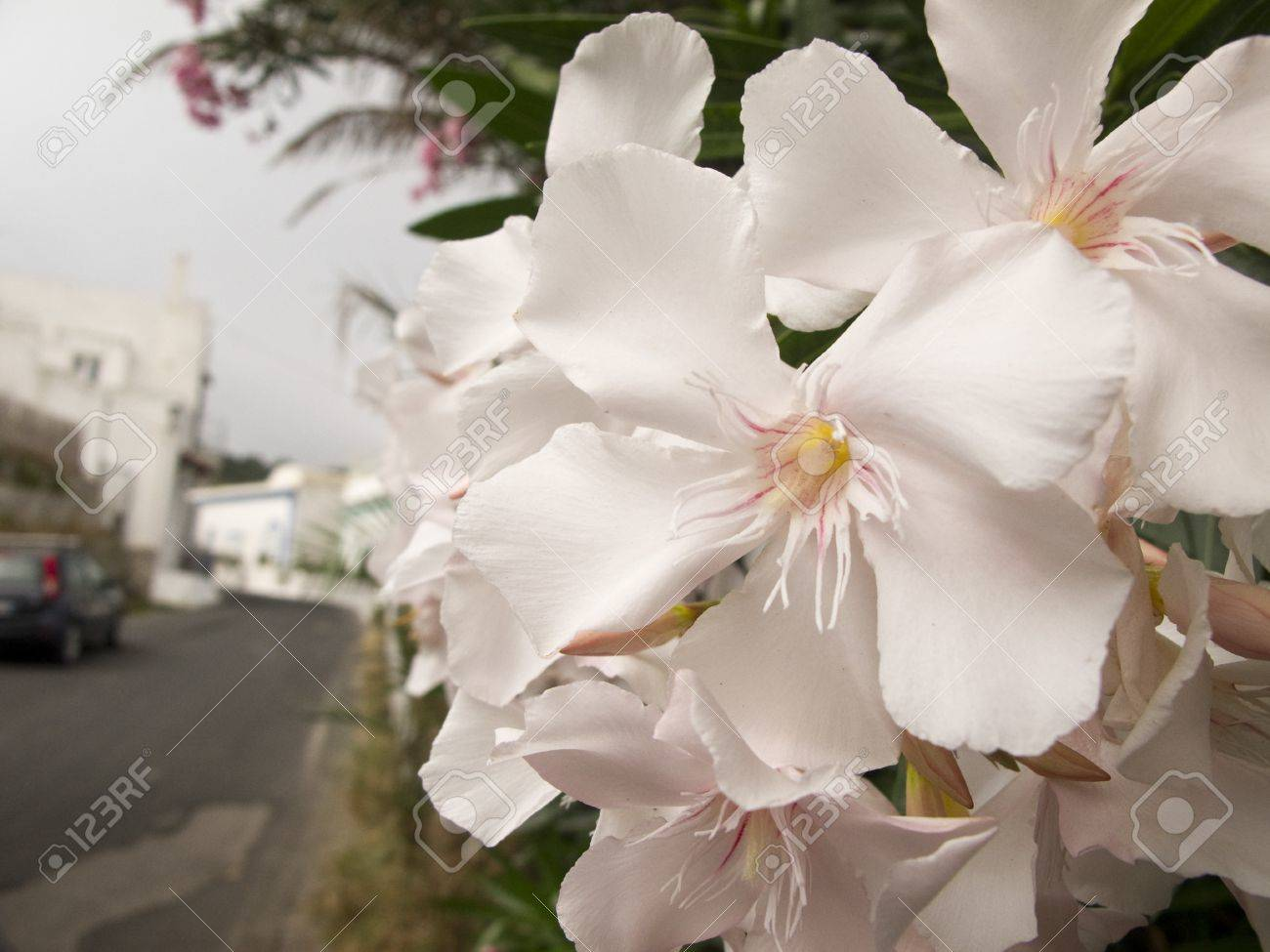 Detail Of White Oleander Flowers In Full Bloom Stock Photo Picture