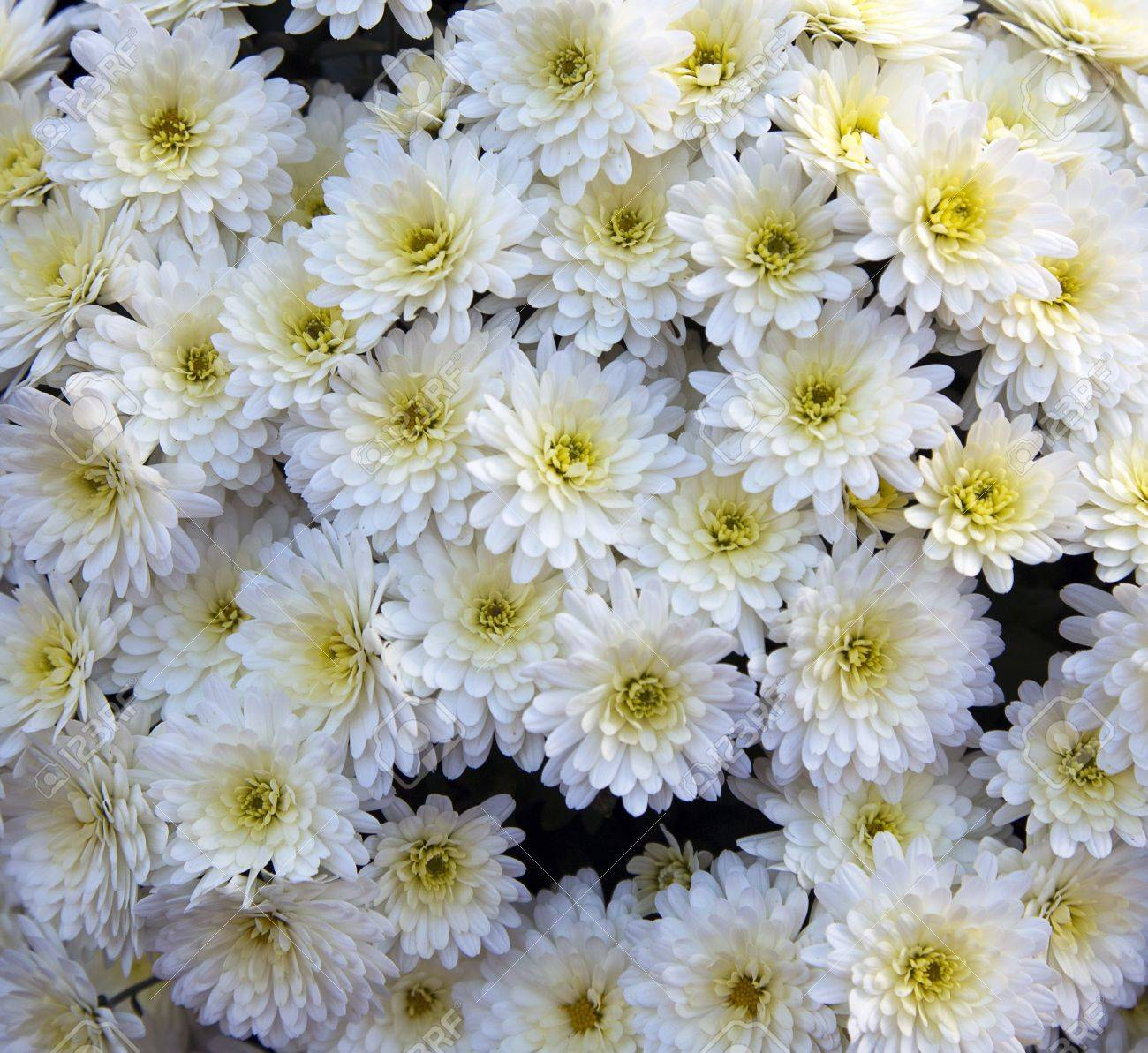 Wallpaper Of White Chrysanthemum Flowers Stock Photo Picture And