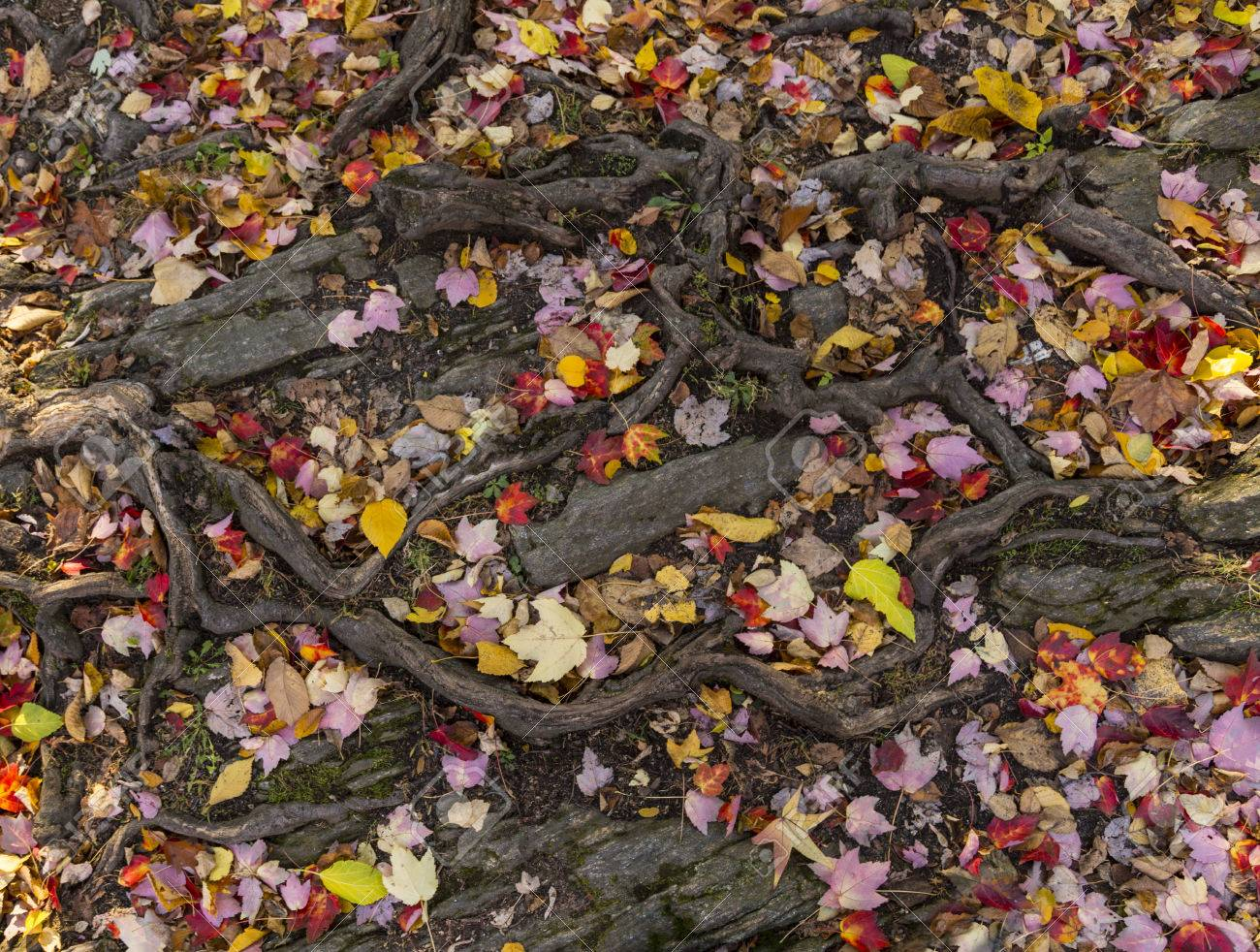 Wonderful pattern of tangled tree roots and fallen autumn leaves. Background and wallpaper design Stock Photo - 48202529