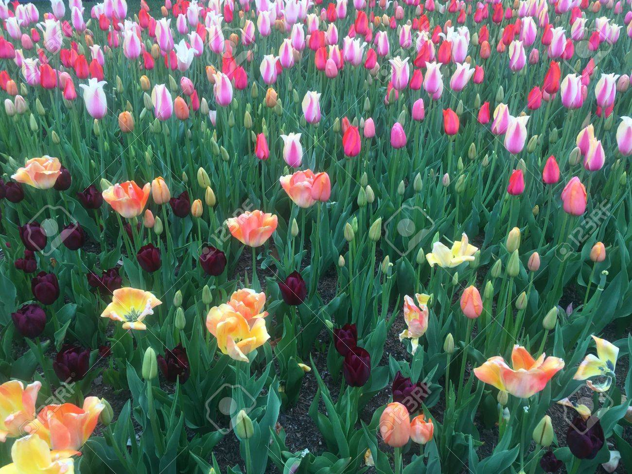 Field of multicolor tulips Stock Photo - 56712629