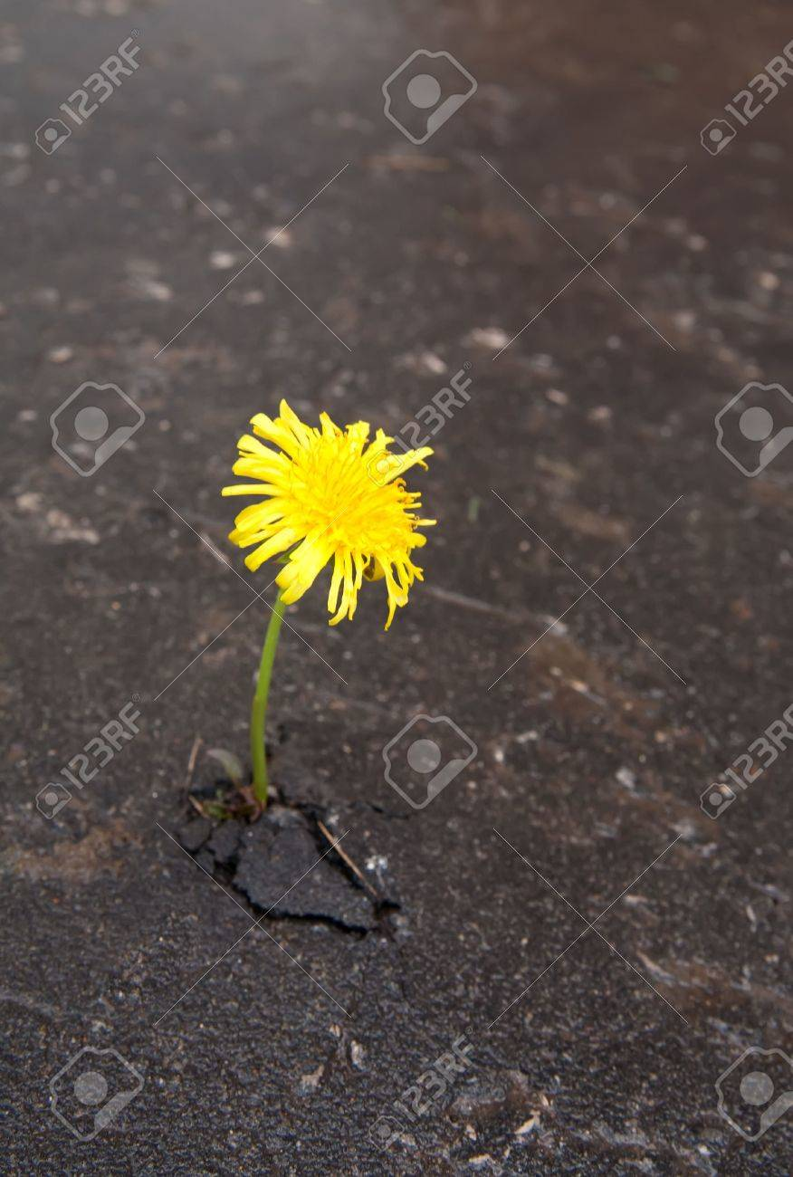 Young dandelion makes the way through asphalt on city road. Stock Photo - 4944018