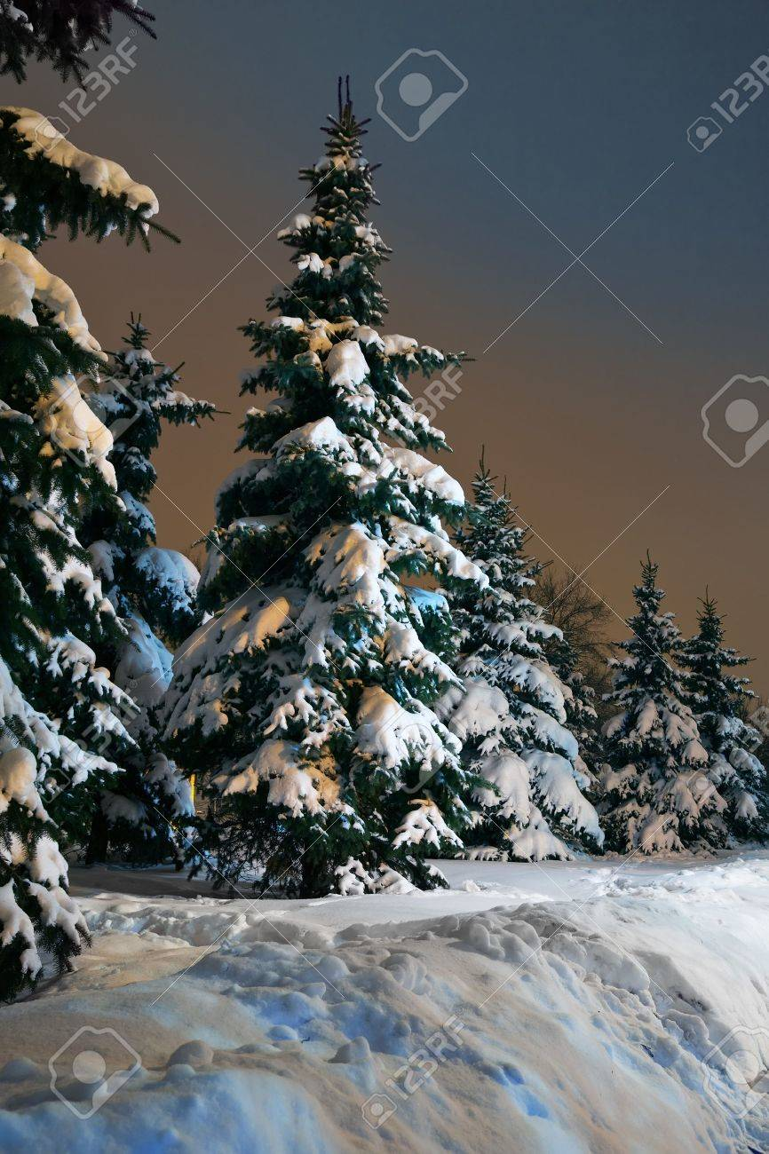 Spruce trees at winter park in late evening Stock Photo - 10533573