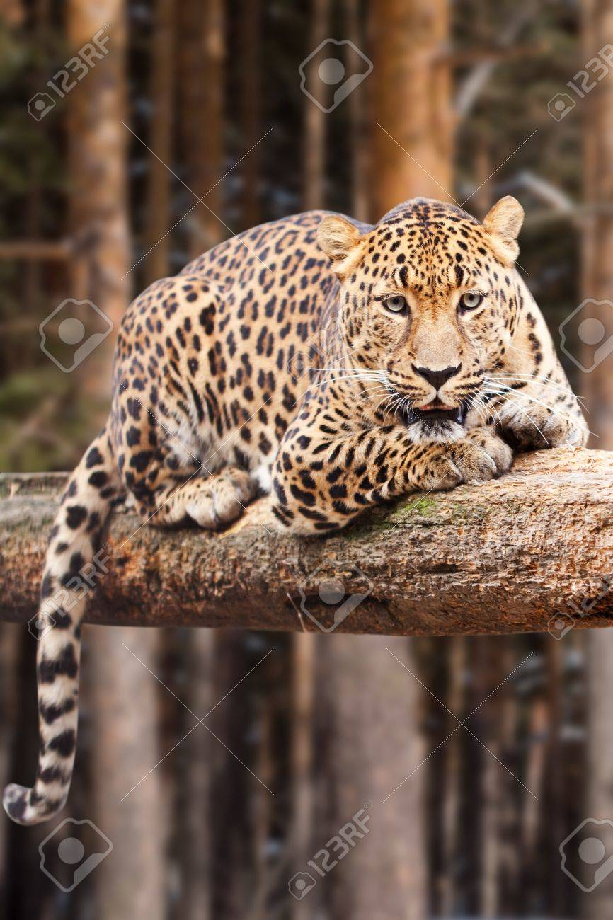 leopard on wood against pine forest Stock Photo - 11471559
