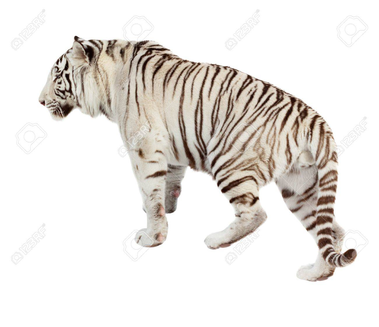 Walking white tiger  Isolated  over white background Stock Photo - 12793857