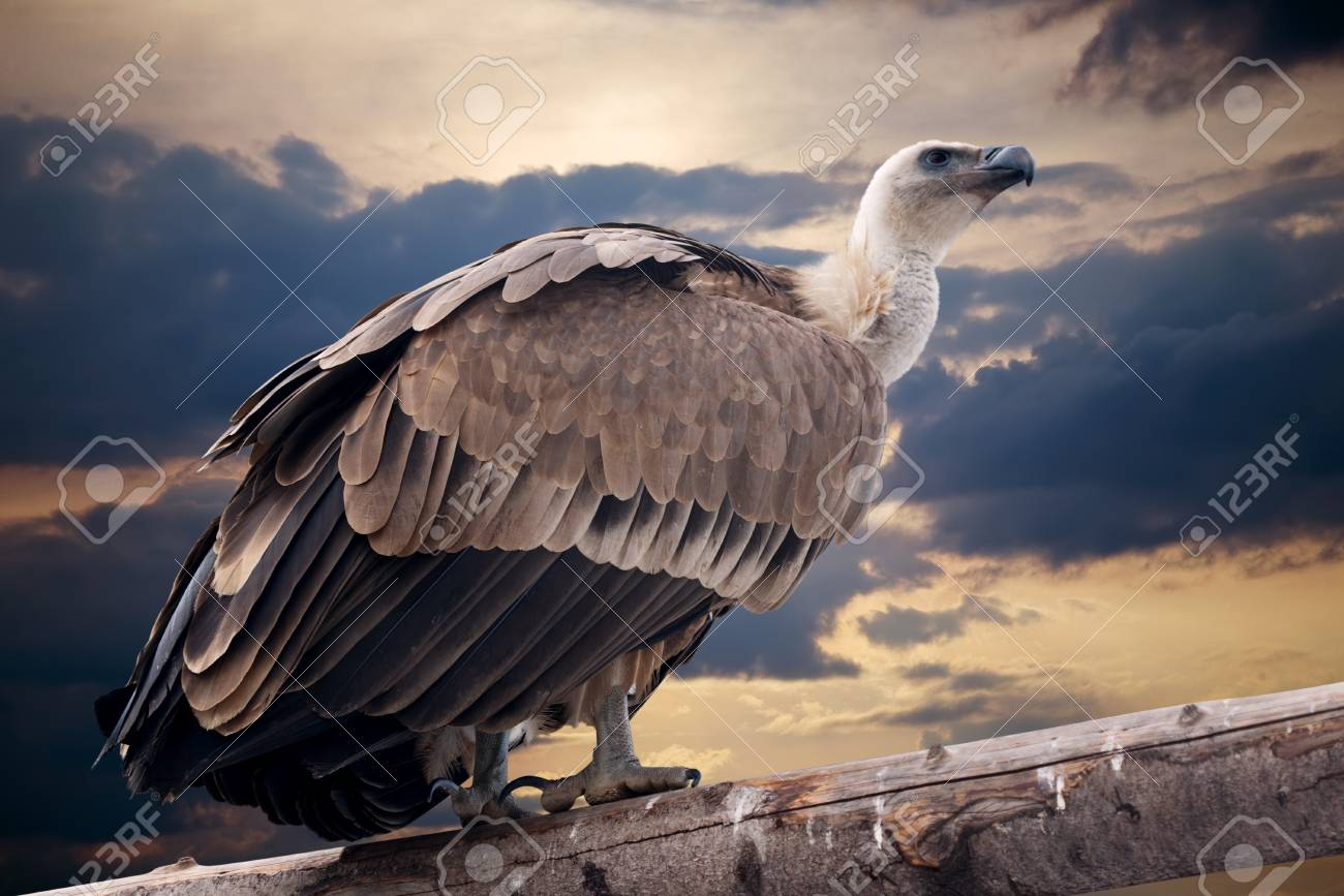 Griffon vulture sitting on wood trunk  against dramatic sky background Stock Photo - 12791532