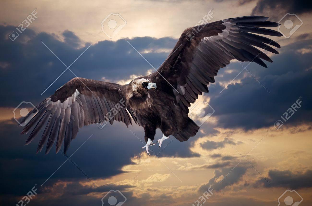 Flying black vulture  against sunset sky background Stock Photo - 12791585