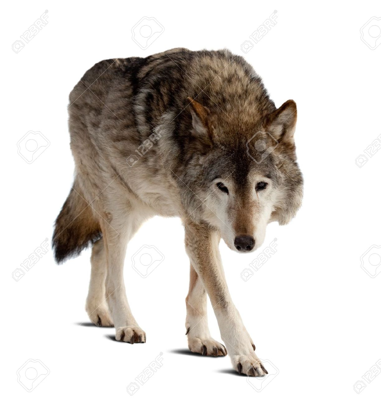 wolf. Isolated over white background with shade Stock Photo - 13086327