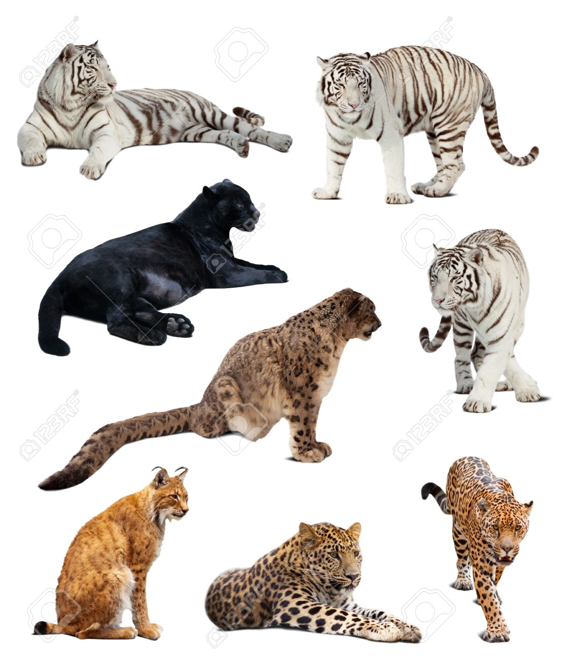 Set of  big wildcats. Isolated  over white background with shade Stock Photo - 13238775