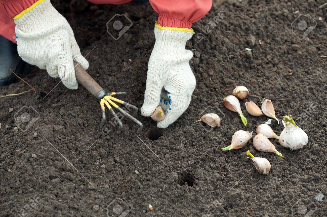 Closeup of  gardener sets garlic in soil at field Stock Photo - 13453748