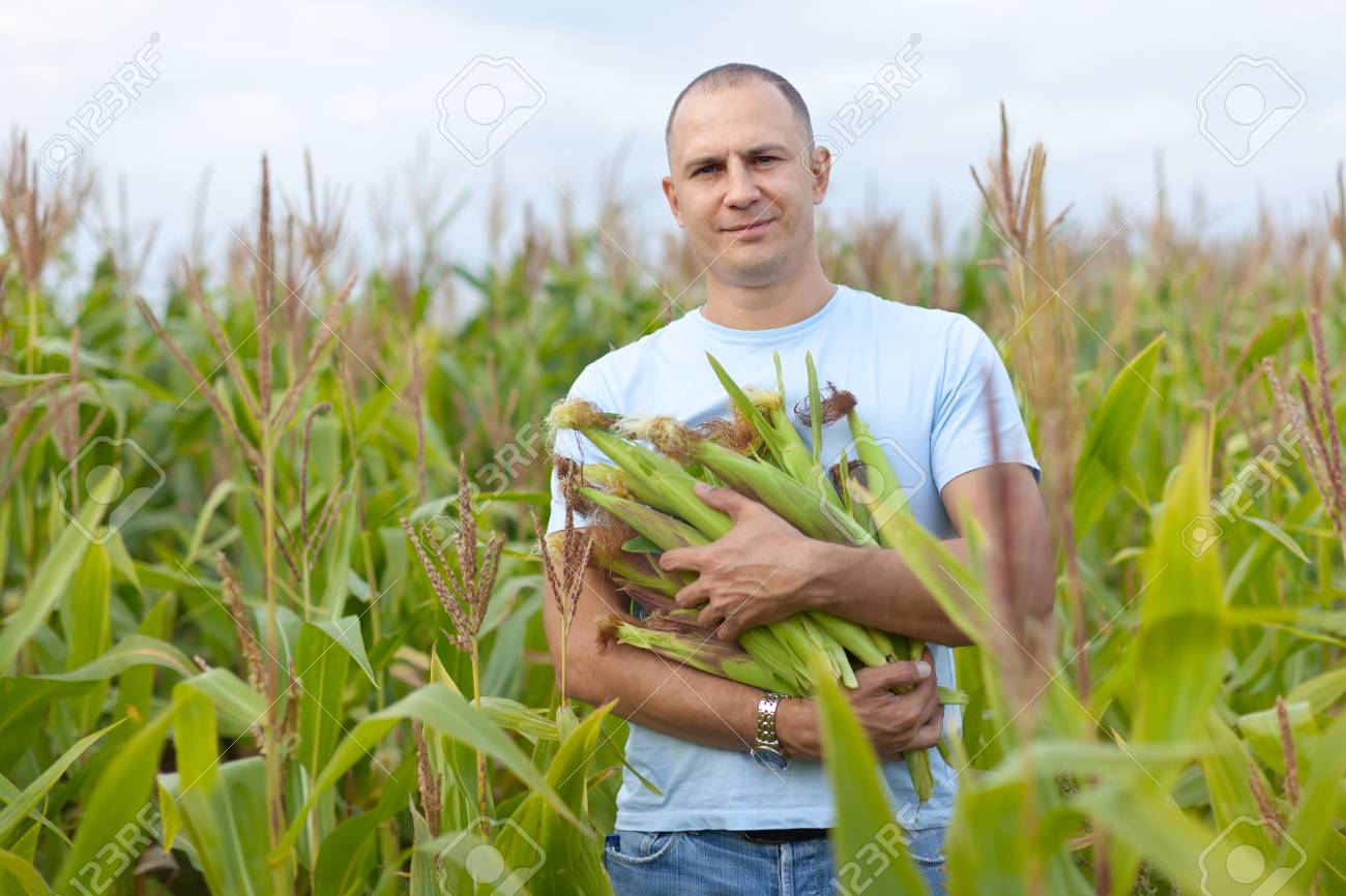 Man is standing in cornfield with hands full of corn cobs Stock Photo - 16848574