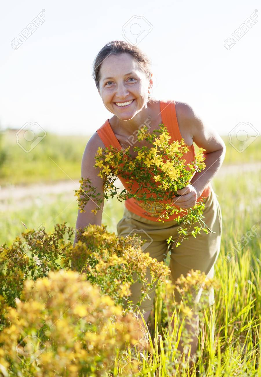Mature Woman Gathers Hypericum At Wild Meadow Stock Photo, Picture ...