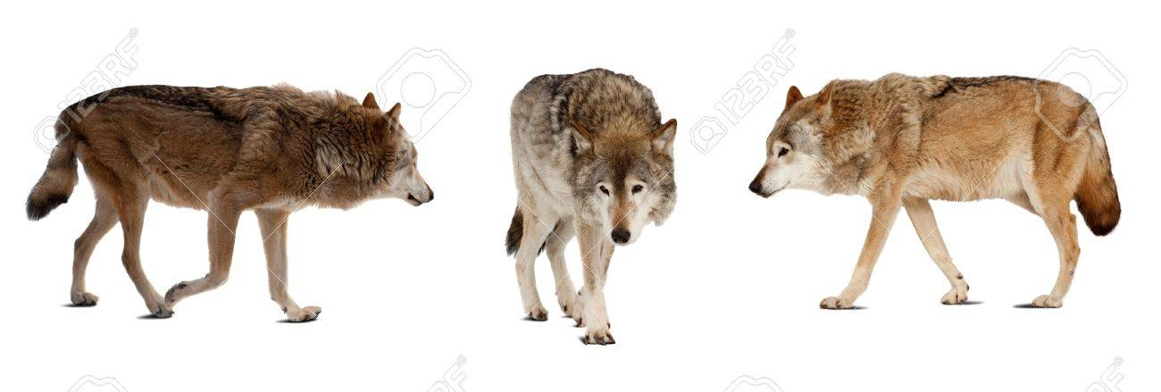 Set of few wolves. Isolated over white background with shade Stock Photo - 16898729