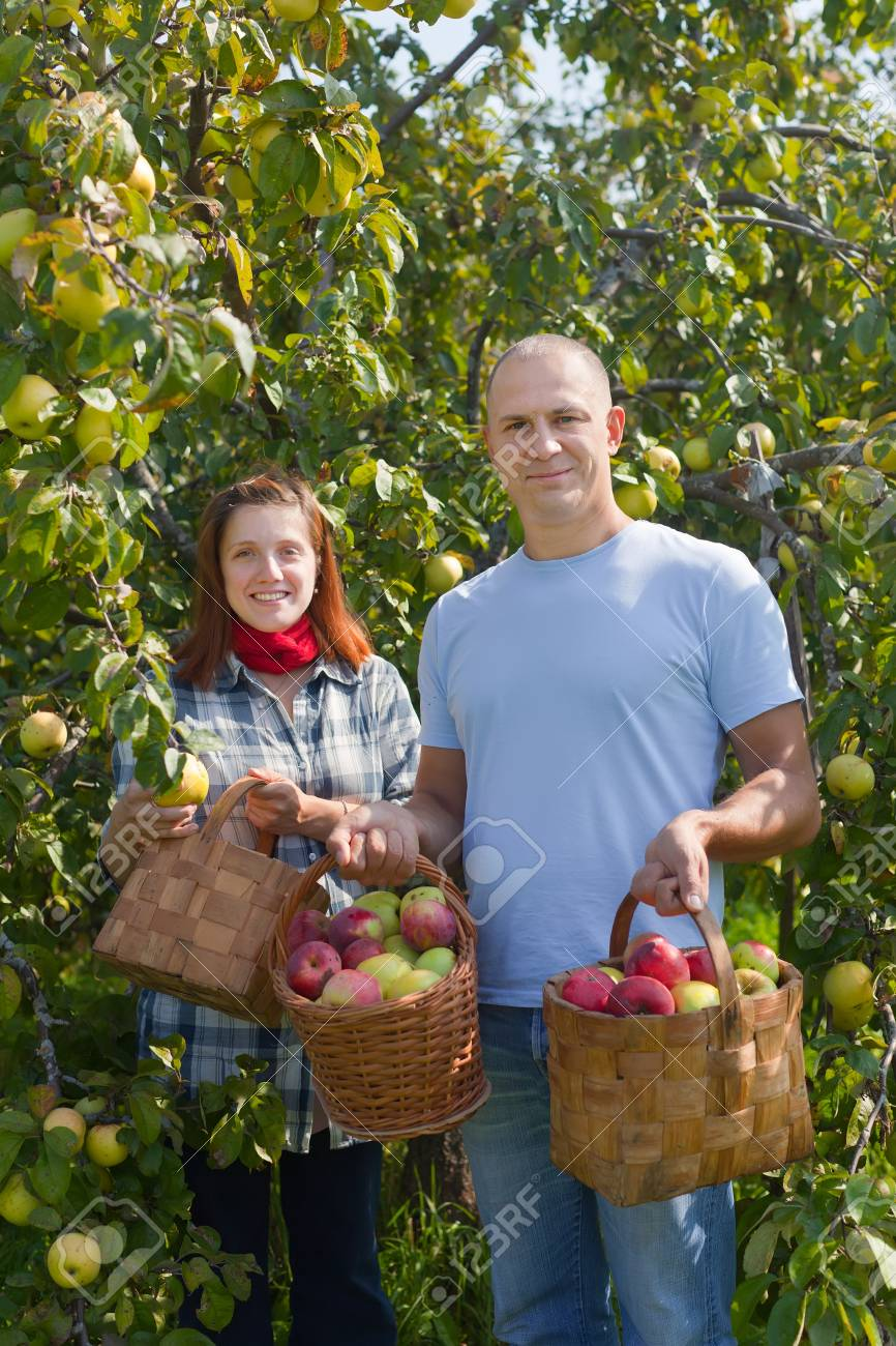 Man And Woman Picks Apples In The Orchard Stock Photo