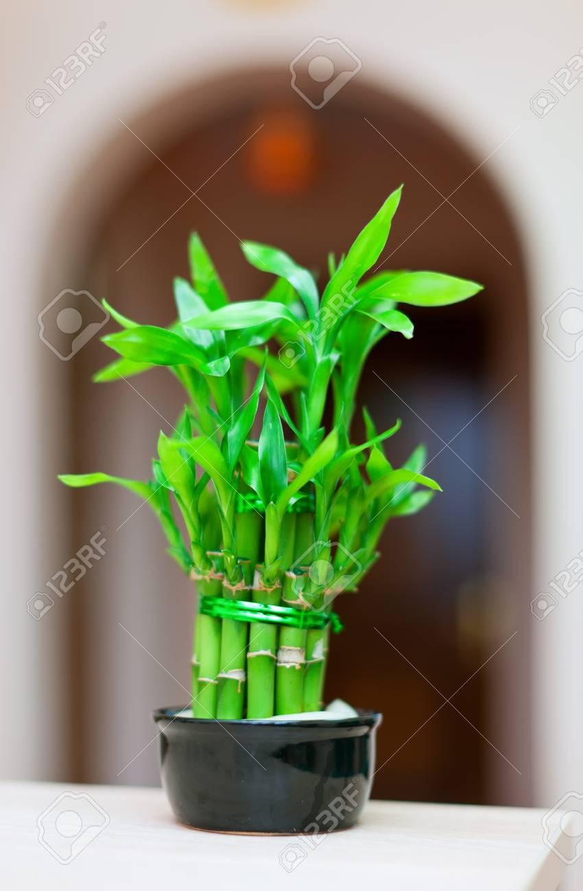 plante de bambou chanceux en pot à la maison d'intérieur banque d