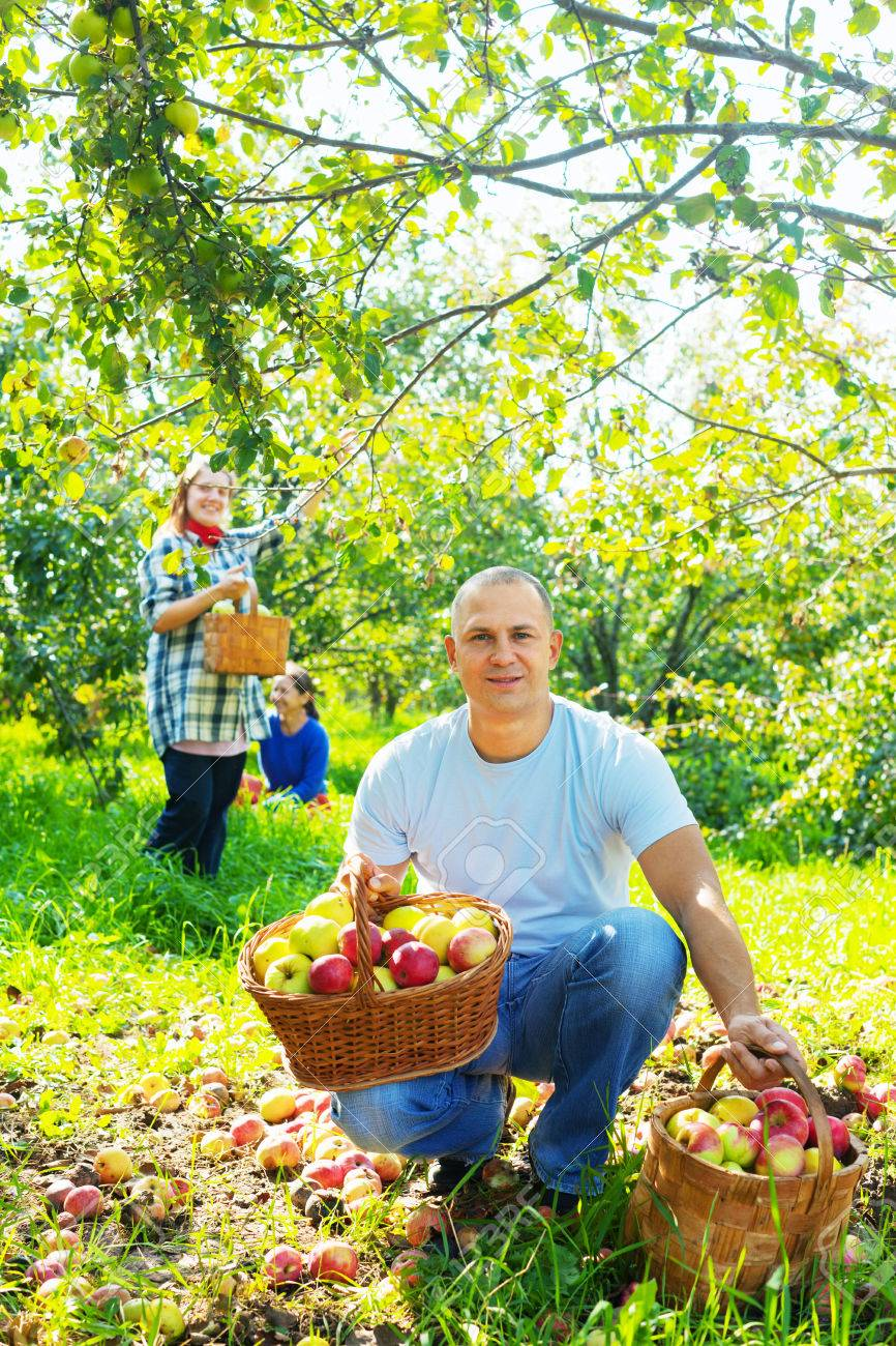 Happy family gathers apples in the garden Stock Photo - 24936036