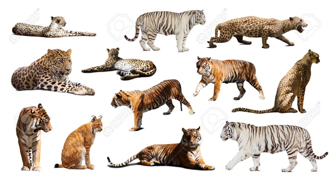 Banque d\u0027images , Ensemble de tigre et autres grands chats sauvages. Isolé  sur fond blanc avec l\u0027ombre