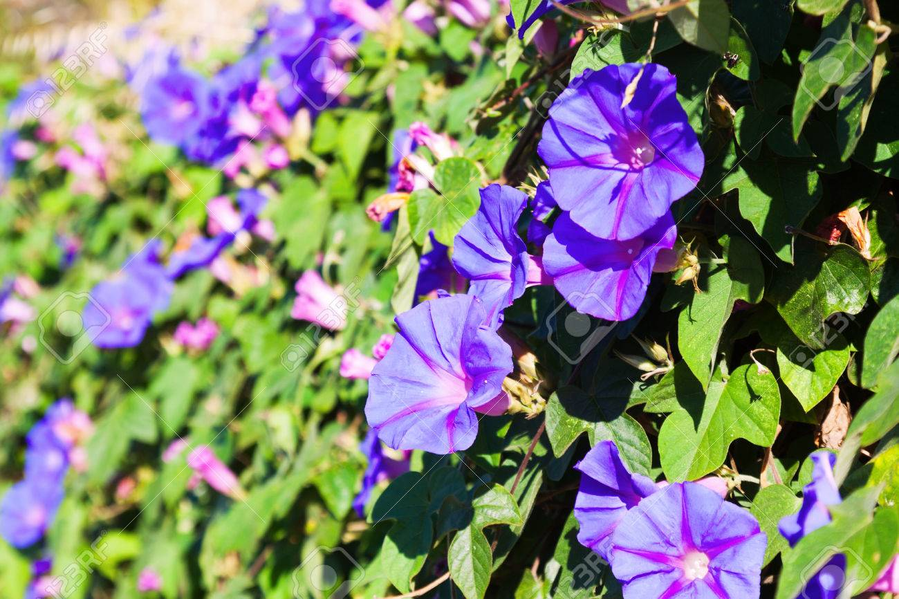 Closeup of blue bindweed plant in sunny day stock photo picture and closeup of blue bindweed plant in sunny day stock photo 43390602 izmirmasajfo Choice Image