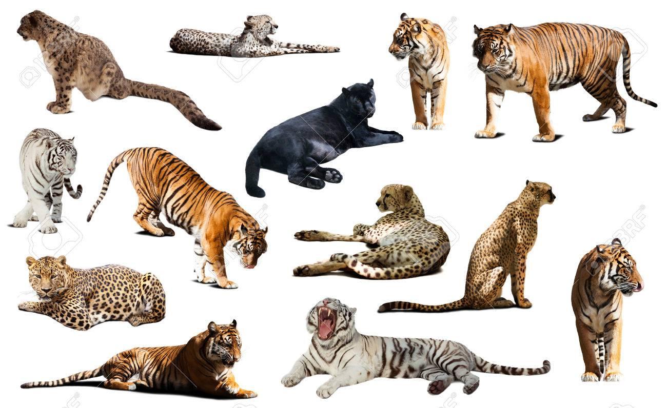 Banque d\u0027images , Tigre et autres grands chats sauvages. Isolé sur fond  blanc avec l\u0027ombre
